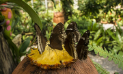 Высоко прпбыльный бизнес ферма Живых Тропических Бабочек  из Тайланда